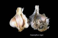 garlic_black_mold