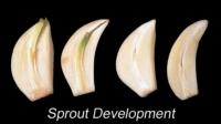 garlic_sprout_development