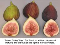 Harvest_maturity_of_Brown_Turkey_figs960x720