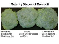 Maturity_stages_of_broccoli960x720