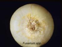 onion_dry_fusarium_basal_rot