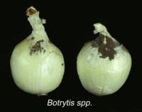 onion_dry_neck_rot