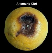 orange_alternaria_rot