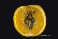 orange_alternaria_rot2