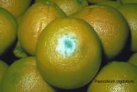 orange_blue_mold1