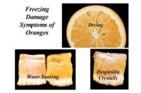 orange_freezing_damage