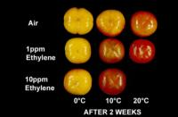 persimmons_ethylene_effects