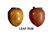 persimmons_leaf_rub_damage