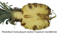 Pineapple_Fruitlet_Core_Rot