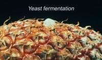 pineapple_yeast_fermentation