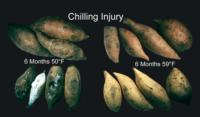 sweet_potato_chilling_injury