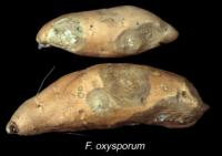 sweet_potato_fusarium_rot