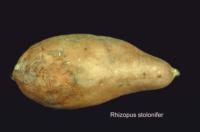 sweet_potato_rhizopus_rot2
