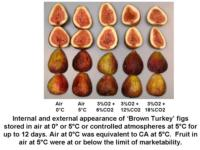 Temp_and_CA_effects_on_Brown_Turkey_figs960x720