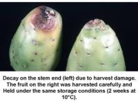 Stem-end_decay_on_cactus_pear