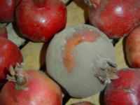 Gray_mold_on_pomegranates