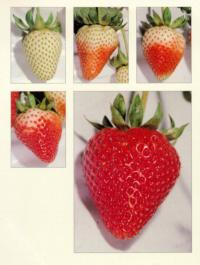 strawberry_ripening_stages