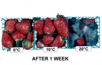 strawberry_temperature_effects