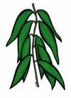eucalyptus005-2