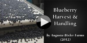 Blueberry Harvest & Handling