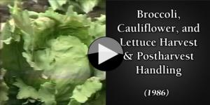 Broccoli,  Cauliflower, and Lettuce Harvest & Postharvest Handl