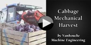 Cabbage Mechanical Harvest