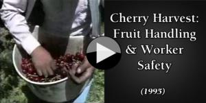 Cherry Harvest Fruit Handling & Worker Safety English
