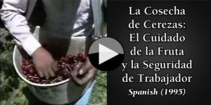 Cherry Harvest Fruit Handling & Worker Safety Spanish