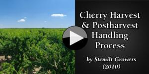 Cherry Harvest & Postharvest Handling Process by Stemilt Grower