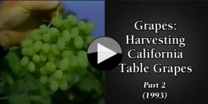 Grapes Harvesting California Table Grapes (1993) part2