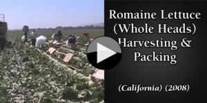 Romaine Lettuce (Whole Heads) Harvesting & Packing