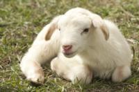 lamb-2216160