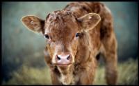 Vaca_Cow