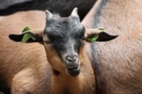 Cabras_Goat