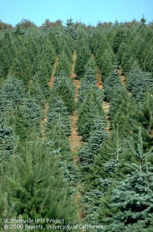 christmas tree farm uc