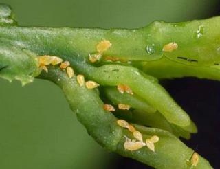 Ninfas del psílido asiático de los cítricos y huevecillos se alimentan de un tallo.