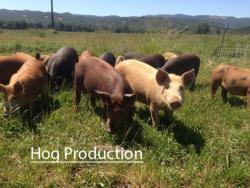 hogproduction