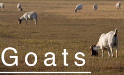 goatbutton