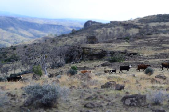 Cows on a Walk-Kevin Greer, Red Bluff