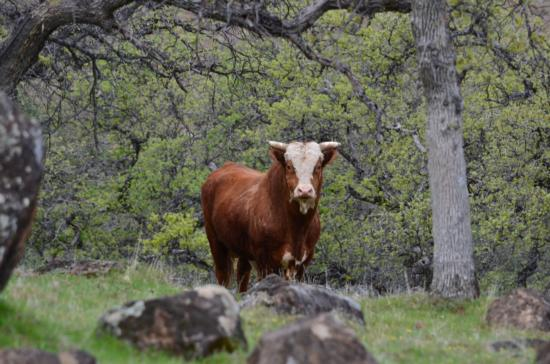 Tehama Wildlife Area cow-Kevin Greer, Red Bluff