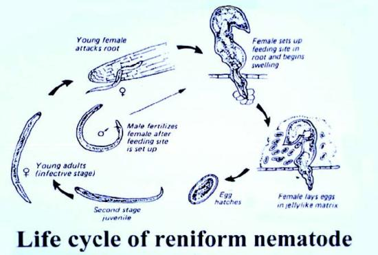 reniform nematode life cycle