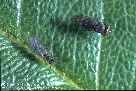 Fungus gnat & shore fly