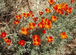 Flowers photo poppies