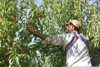 Farm worker harvesting nectarines
