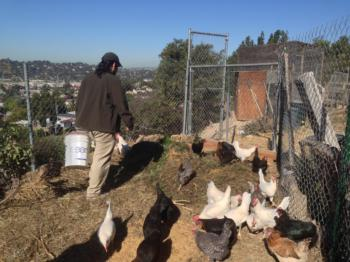 Los Angeles Urban Farmer with Poultry-Photo by Zachary Zabel, Cultivate L.A.
