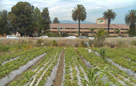 Urban Strawberry Field, McGrath Organic Farms, Camarillo, California