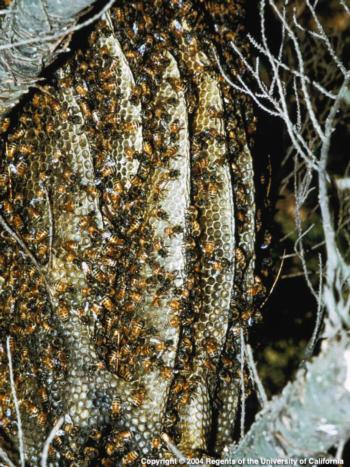 Colony of Honeybees. Photo by E. Kilmartin, UC ANR