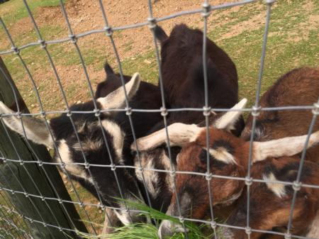Goats eating