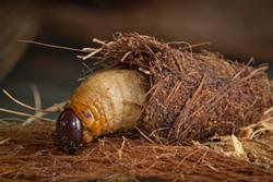 Red_Palm_Weevil_larva-cocoon_Photo_by M.Lewis