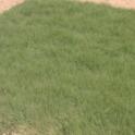 Buffalograss (Buchloe dactyloides 'U.C. Verde')
